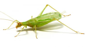 Picture of cricket. Cricket chirping